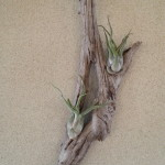 Driftwood air plants created by Ted