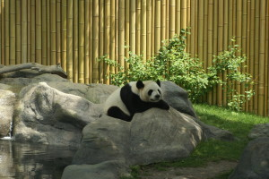 Sleeping panda at the Toronto Zoo